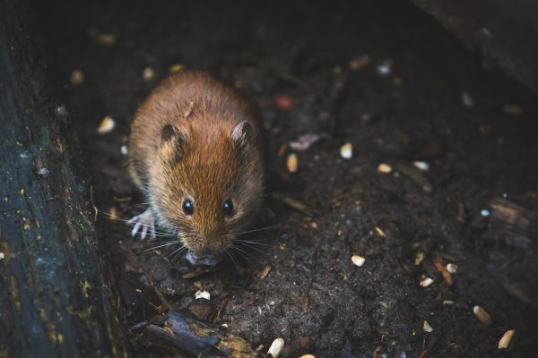 animal-photography-little-mouse-1010266