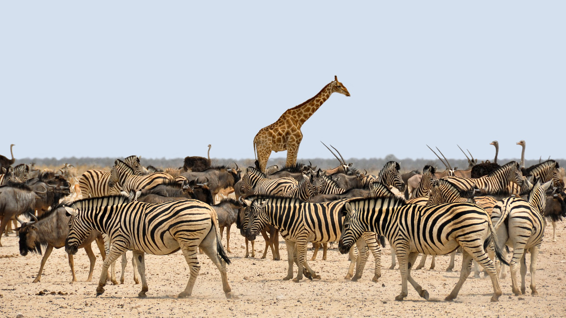 zebra-1170177_1920
