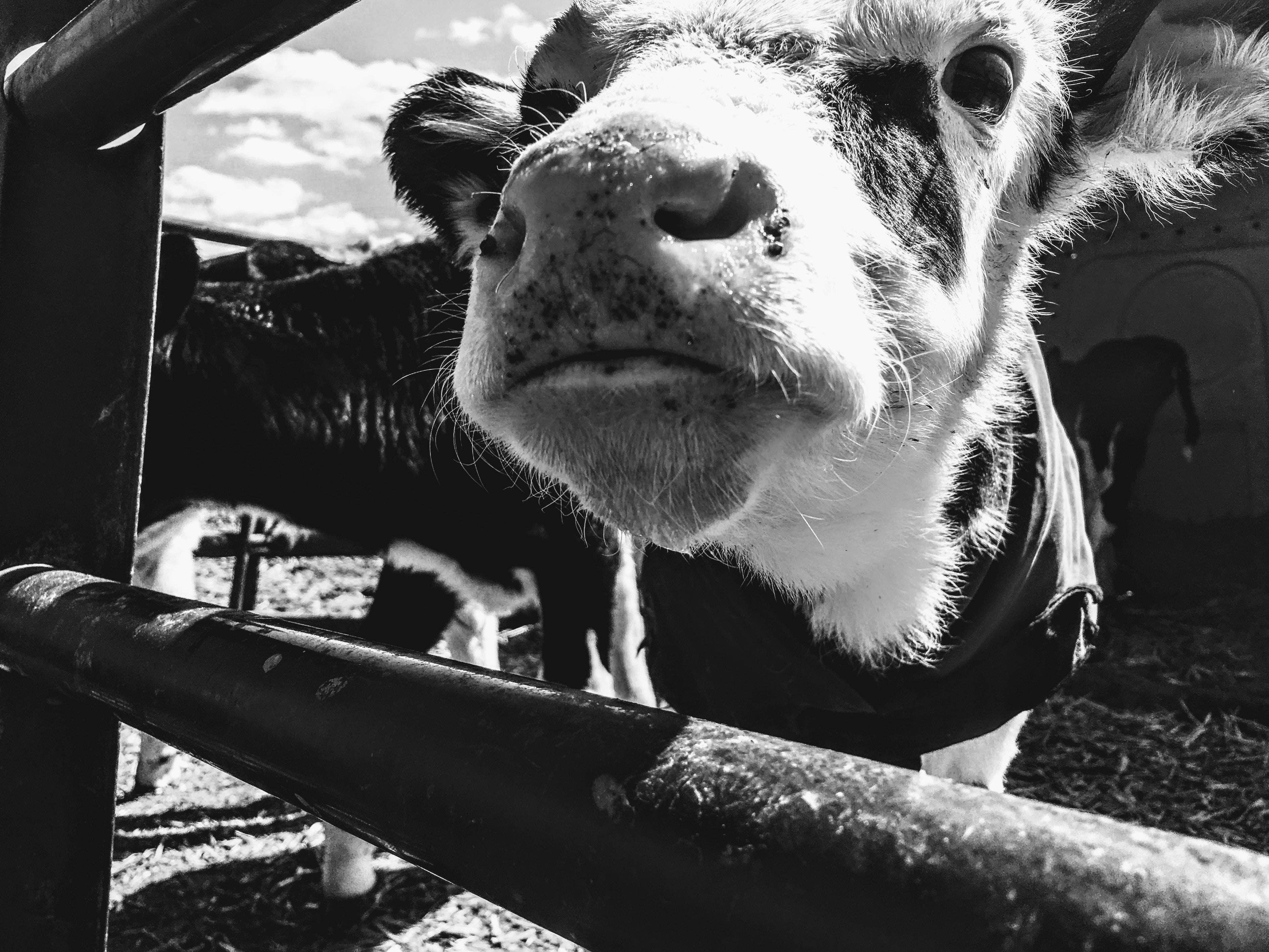 animal-black-and-white-cattle-1001175